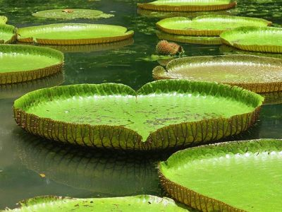 Water lilies in Mauritius