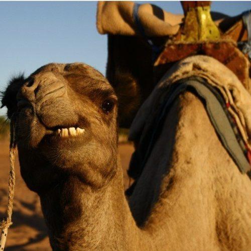 Dromedary camel, Mauritania