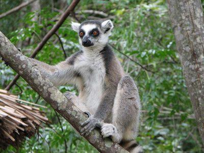 Lemur, Isalo National Park, Madagascar