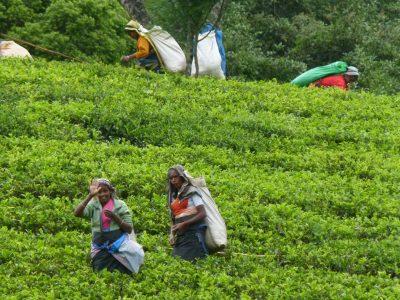 Tea harvest, Nuwara Eliya, Sri Lanka