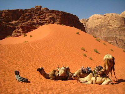 Camel herd on a desert of Jordan.