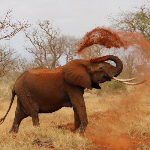 Elephant playing with the sand at a national park in Kenya.
