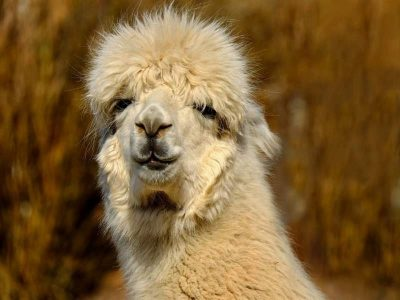 Alpaca is a domesticated species of camelid, Peru.