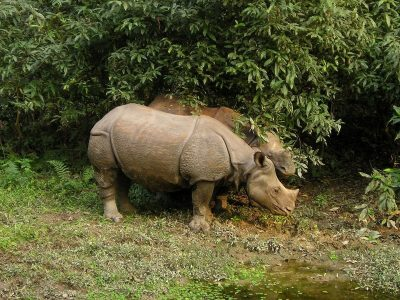 Nepal-Nathional Park Chitwan-Rhino