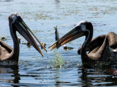 Peru_Parakas-Pelicans