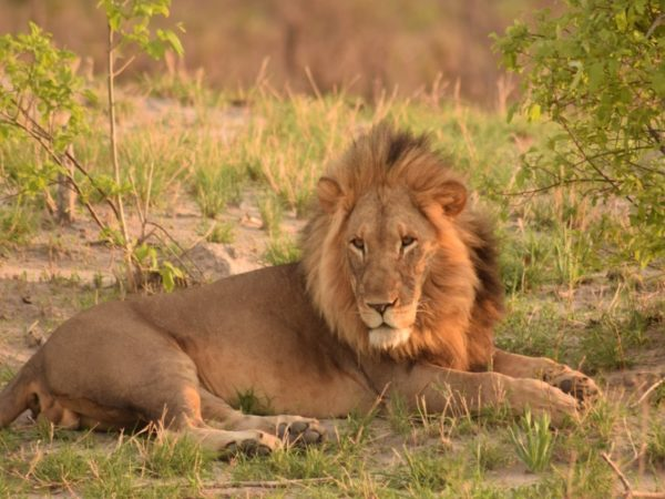 South Africa-Lions